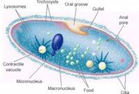√Ciri Protista dan Protozoa : Pengertian, Reproduksi, Perannya