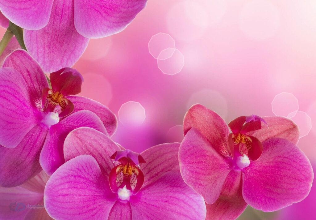 gambar bunga anggrek HD